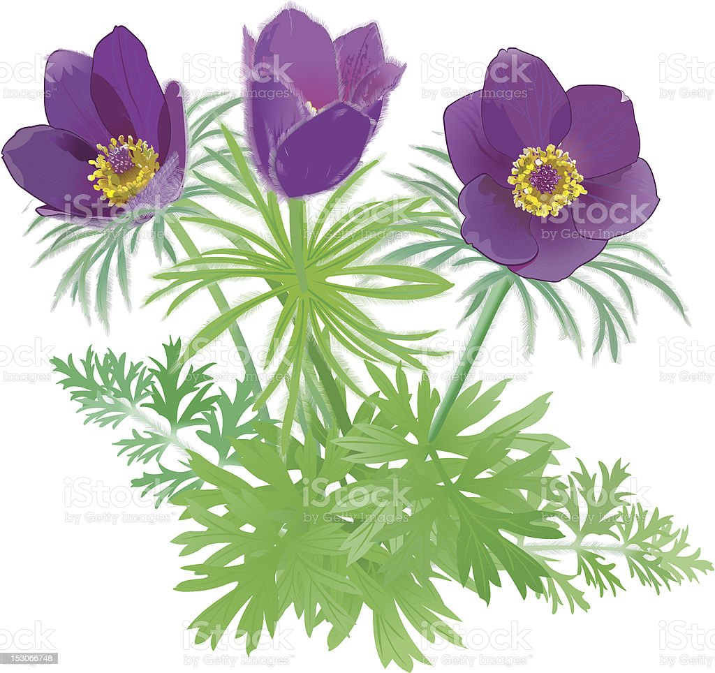 Pulsatilla patens vector art illustration