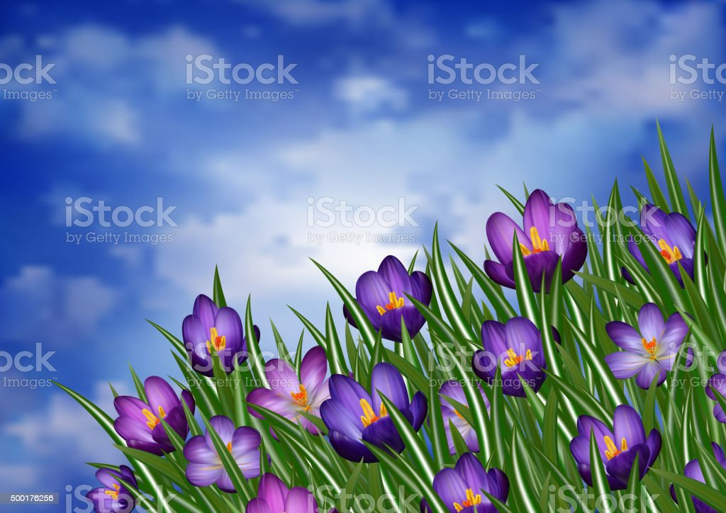 Purple crocus flowers vector art illustration