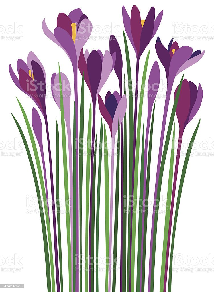 Purple Crocuses Violet Croci vector art illustration