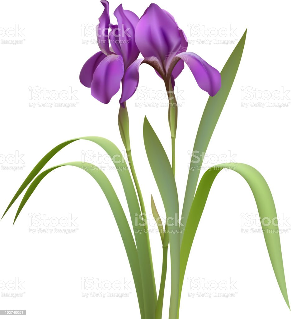Purple Iris Flowers royalty-free stock vector art