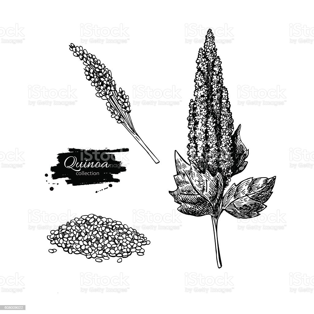 Quinoa vector superfood drawing. Isolated hand drawn  illustrati vector art illustration