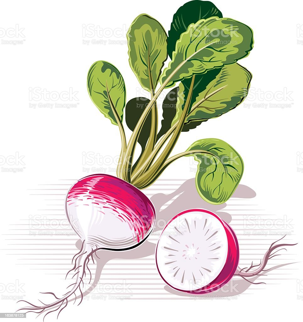 radishes royalty-free stock vector art