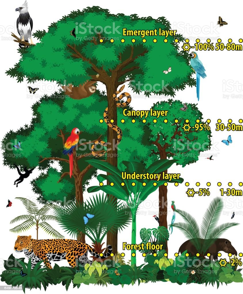 Rainforest jungle layers vector illustration. Vector Green Tropical Forest jungle with different animals. vector art illustration
