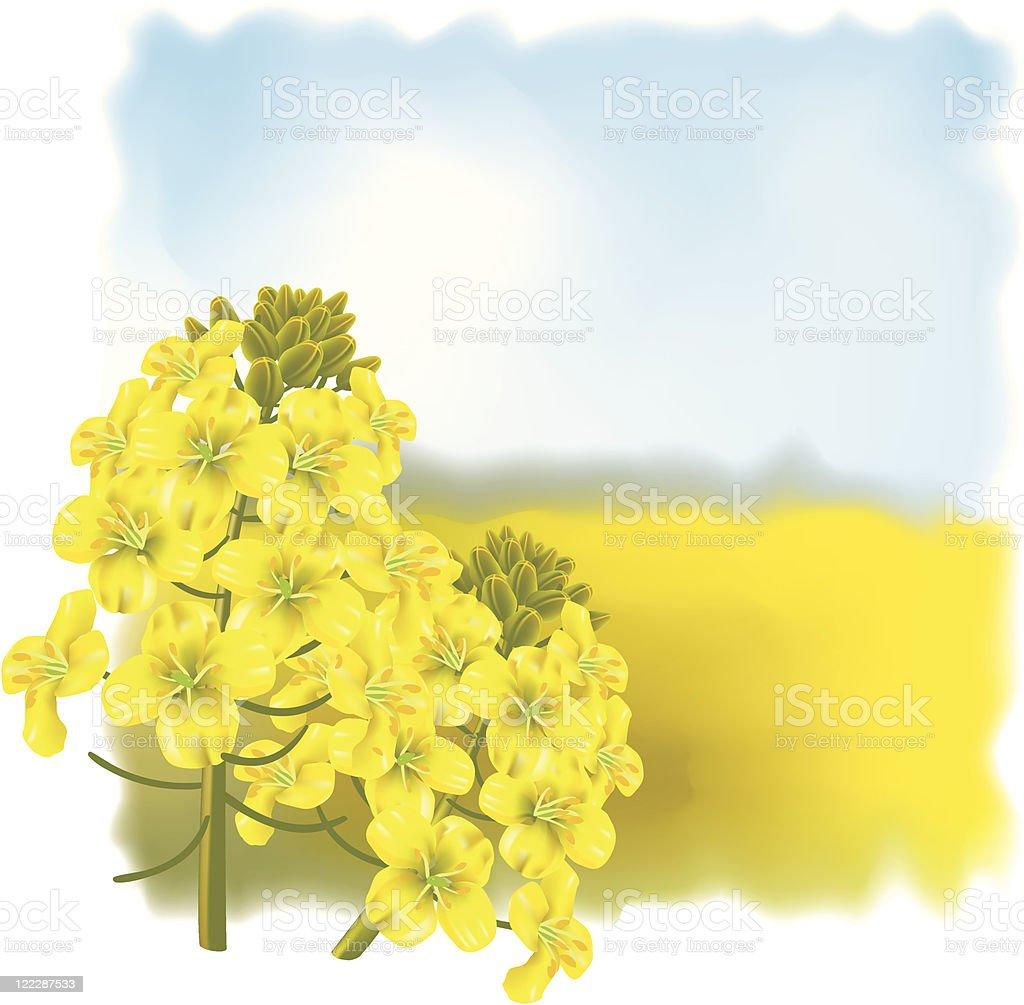 Rape flower on a background field. royalty-free stock vector art