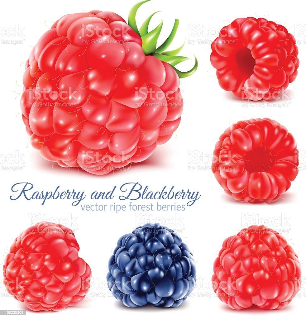 Raspberries and blackberry. vector art illustration