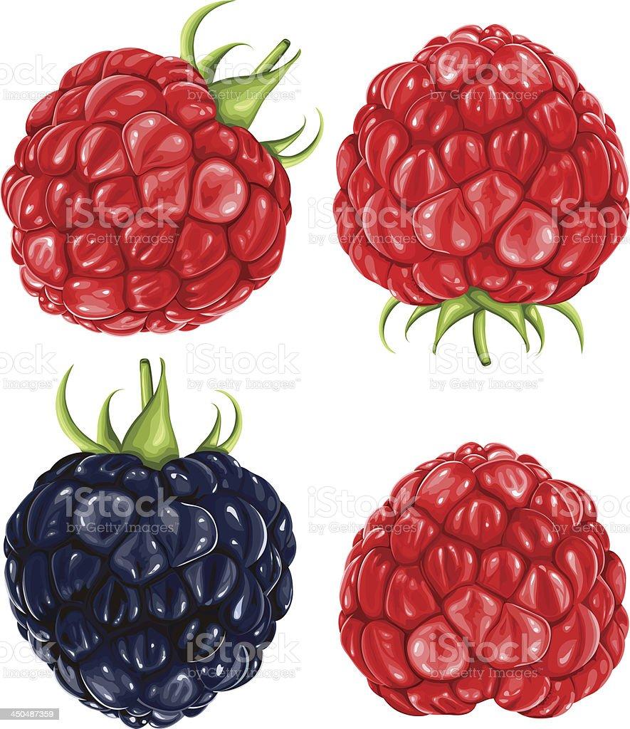 Raspberries & blackberry vector art illustration
