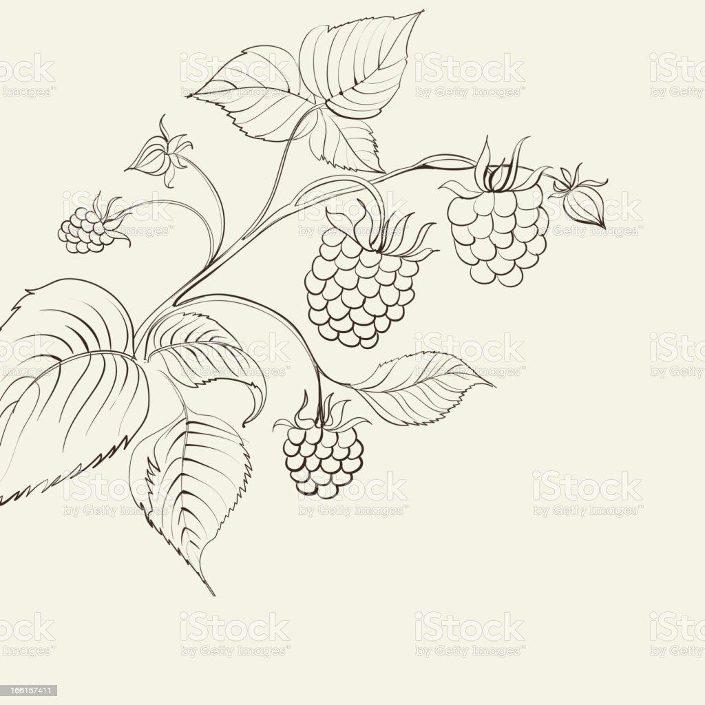 Raspberry branch. Vector illustration. royalty-free stock vector art