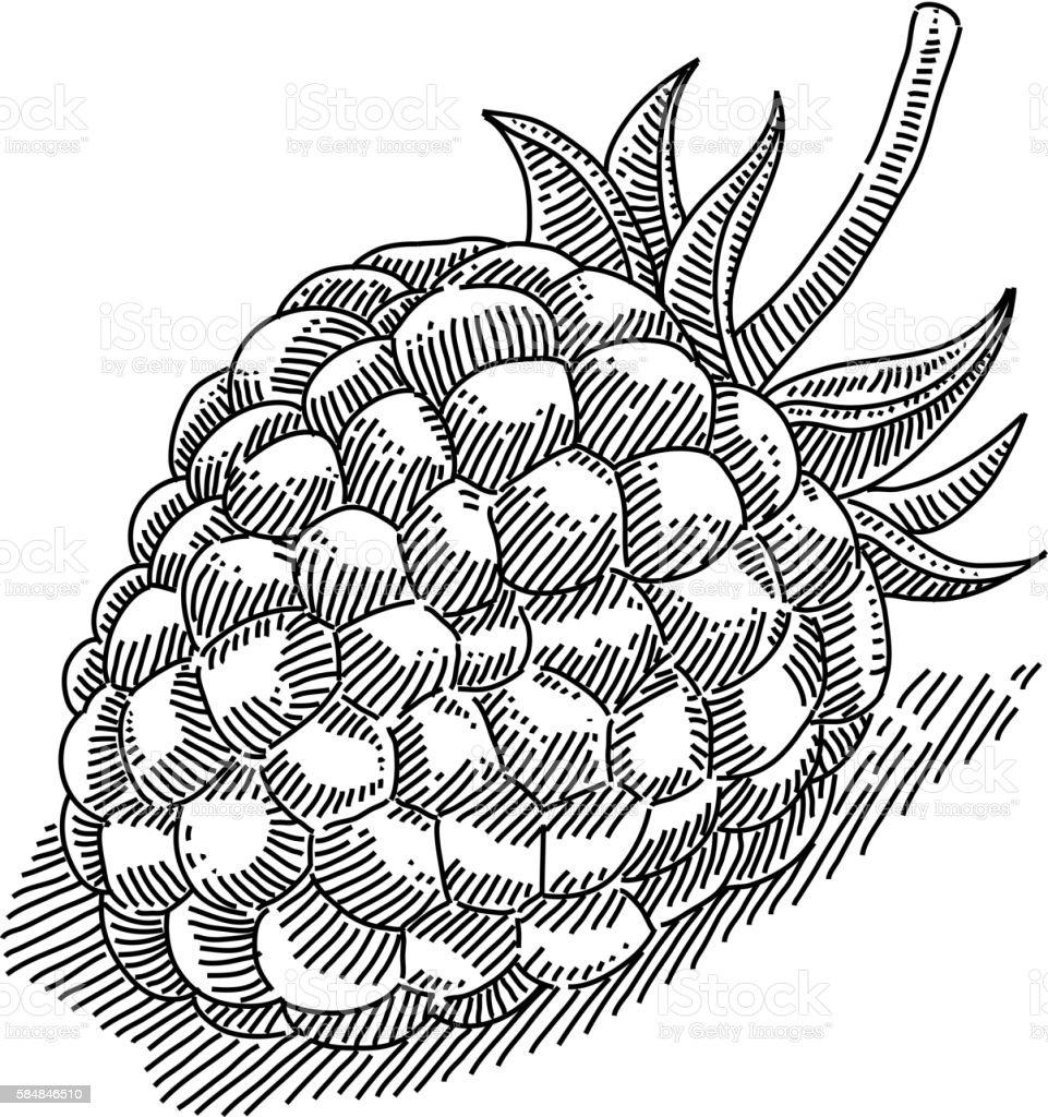 Raspberry Drawing vector art illustration