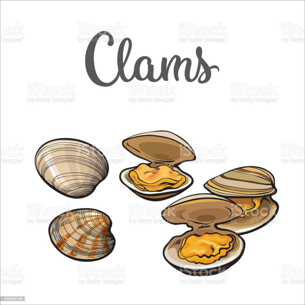 Raw clams isolated on white background vector art illustration