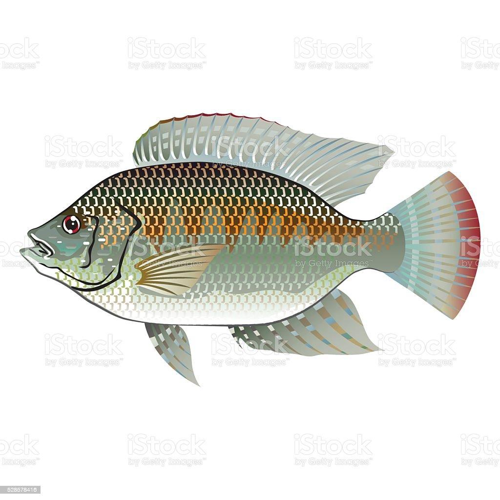 Raw Seafood Tilapia Fish Vector vector art illustration