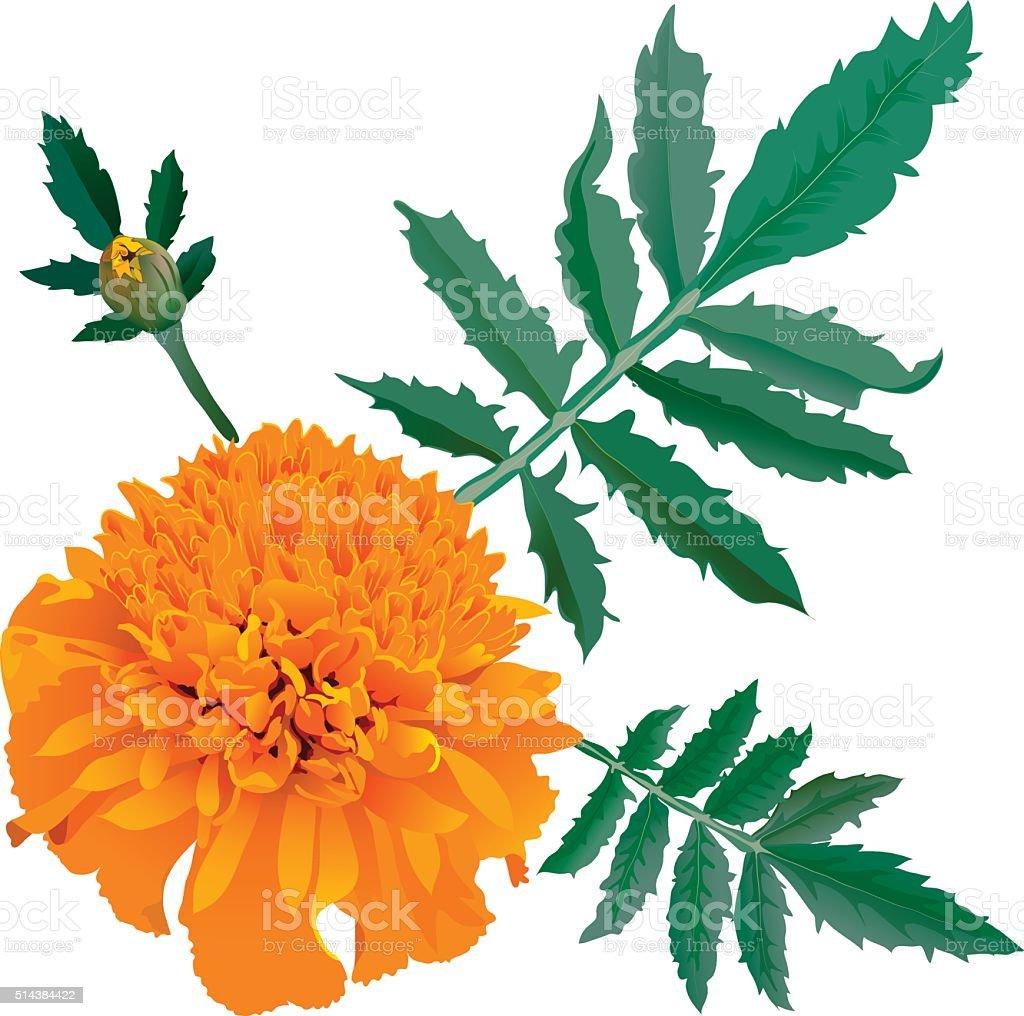 Realistic illustration of orange marigold flower isolated on white background vector art illustration