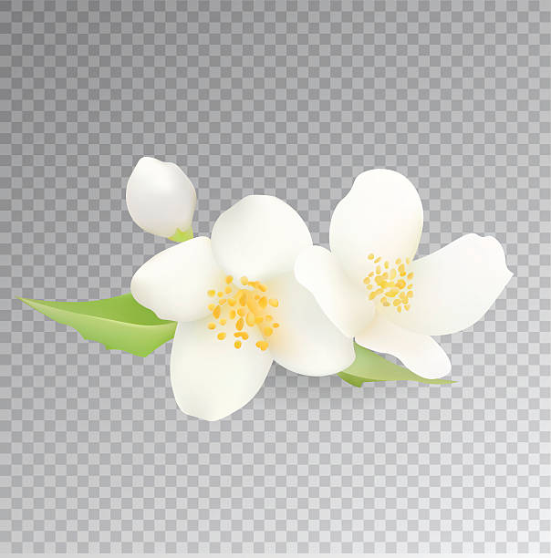 Jasmine Flower Clip Art, Vector Images & Illustrations