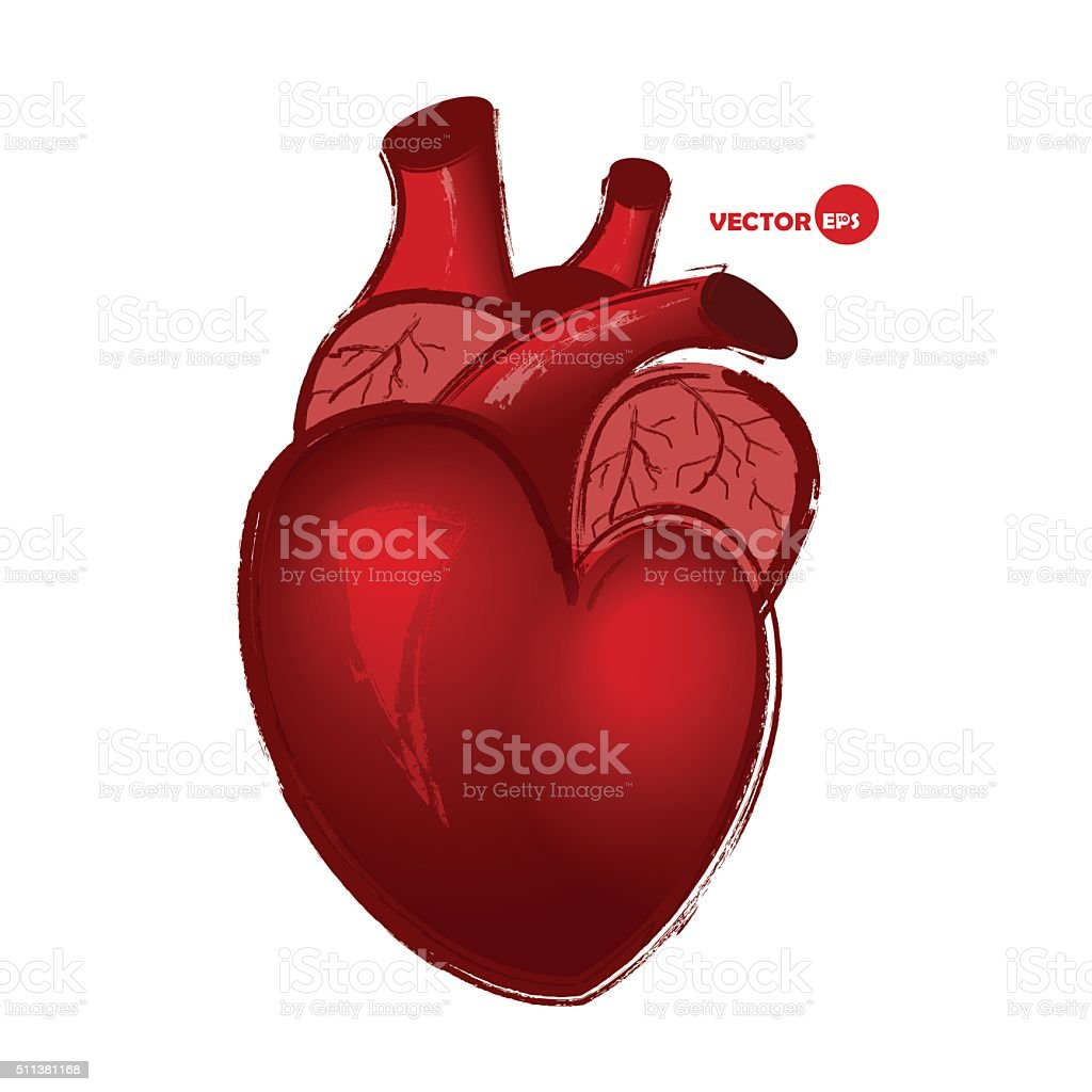 Realistic red heart, biology and anatomy humor scetch. vector art illustration