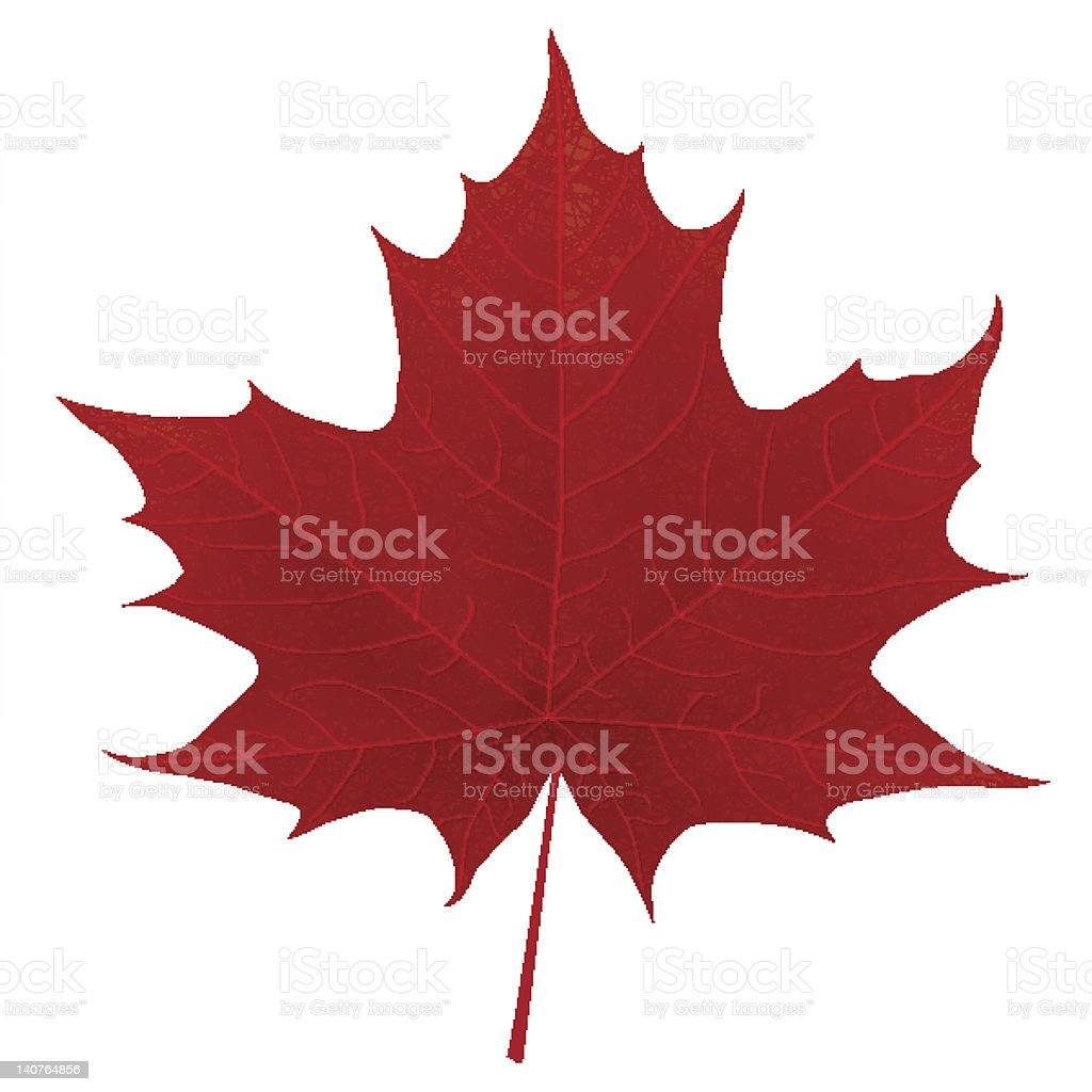 Realistic red maple leaf isolated on white background vector art illustration