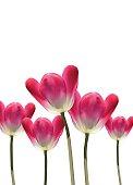 Realistic vector 3D tulips
