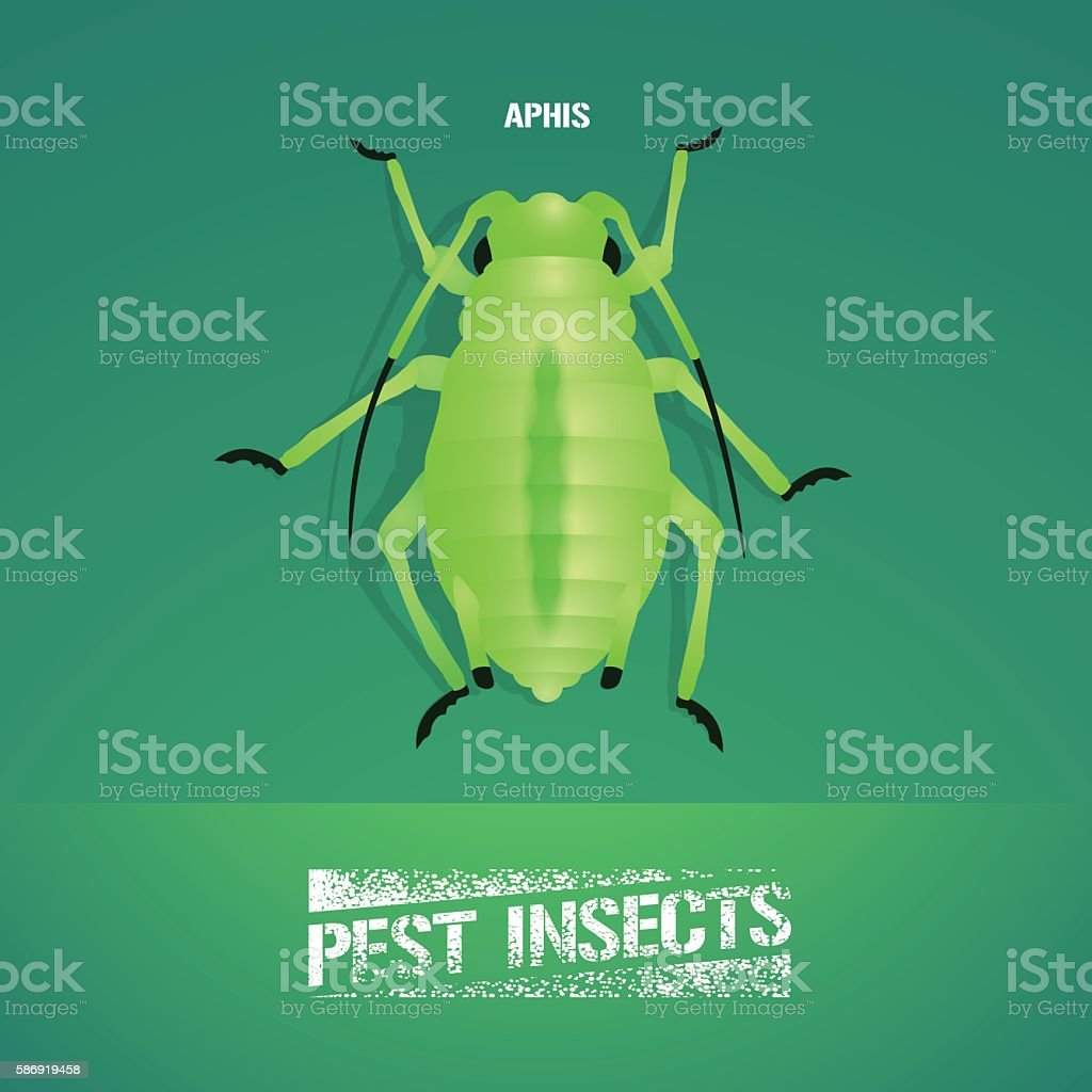 Realistic vector illustration of insect Aphidoidea (aphis) vector art illustration