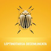 Realistic vector illustration of insect Leptinotarsa decemlineata (colorado beetle)