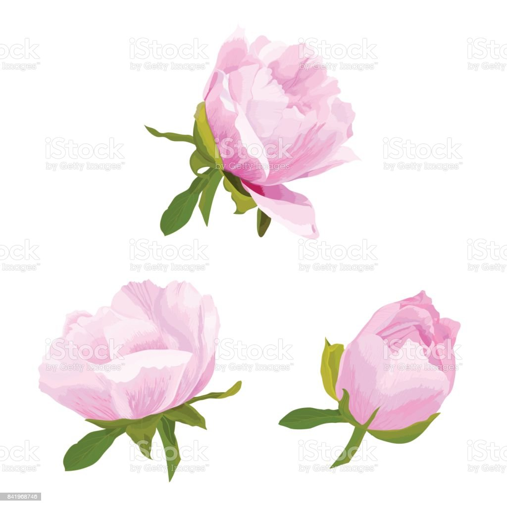Realistic vector illustration of three isolated delicate pink and white flower, bud of peony, bloom on a branch. Set of beautiful blossom on white background. vector art illustration