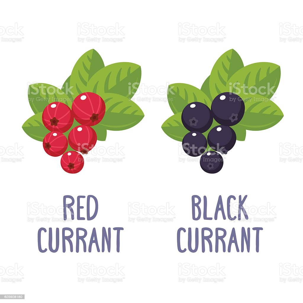 Red and black currant vector art illustration