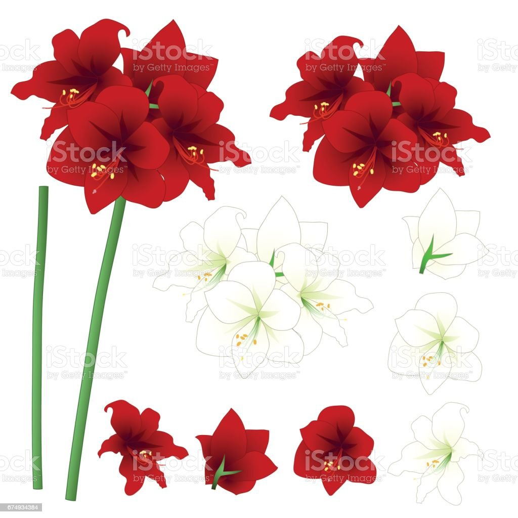 Red and White Amaryllis - Hippeastrum. Christmas Flower. Vector Illustration. isolated on White Background vector art illustration