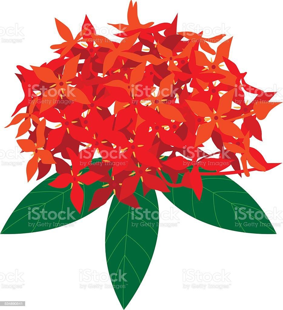 Red Ixora flower isolated on white background vector art illustration