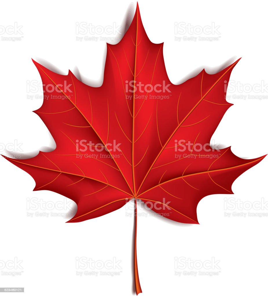 Red maple leaf isolated on white vector vector art illustration