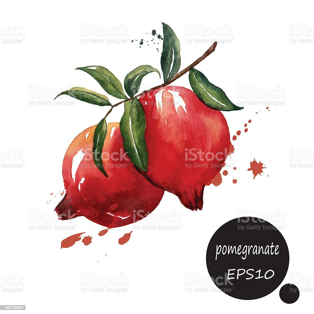 red  pomegranate branch hand draw watercolor splash on white bac vector art illustration