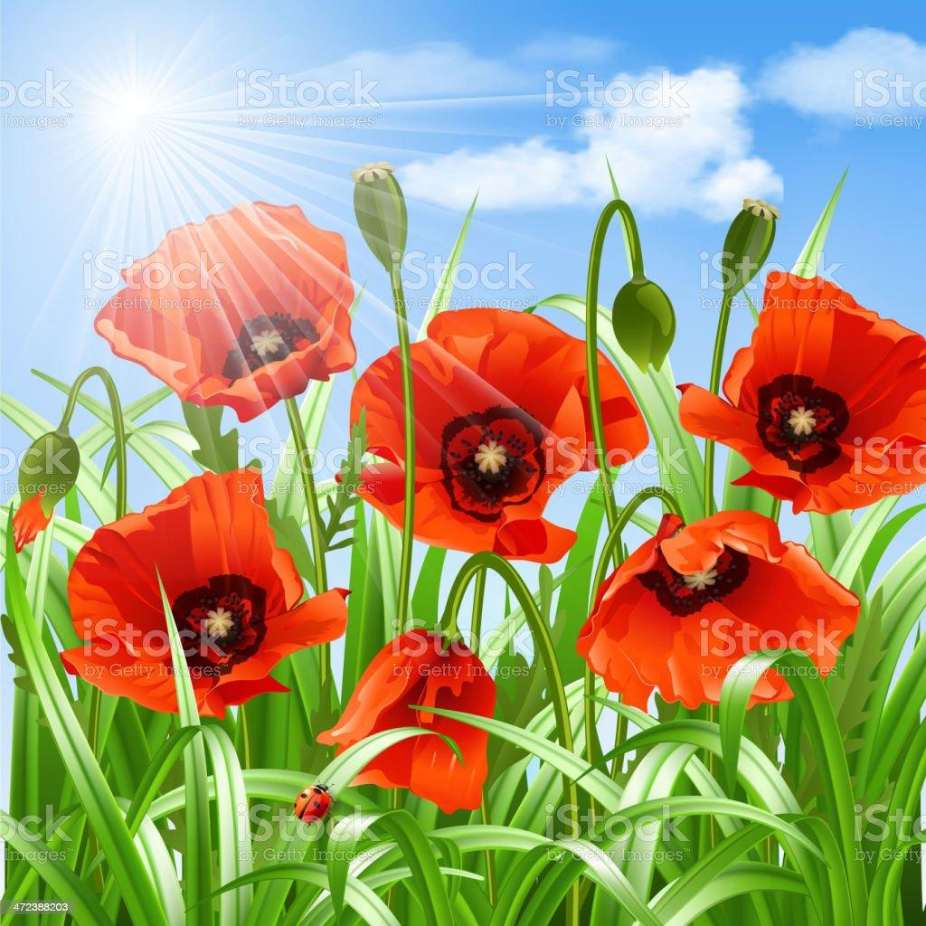 Red poppies in grass., vector vector art illustration