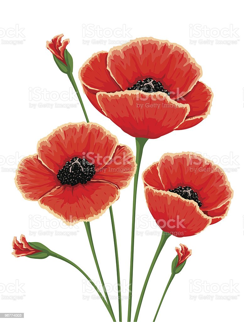 red poppy flowers royalty-free stock vector art