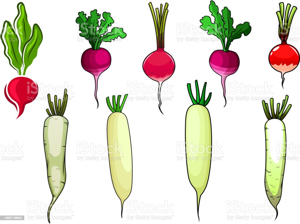 Red radishes and white daikon vegetables vector art illustration
