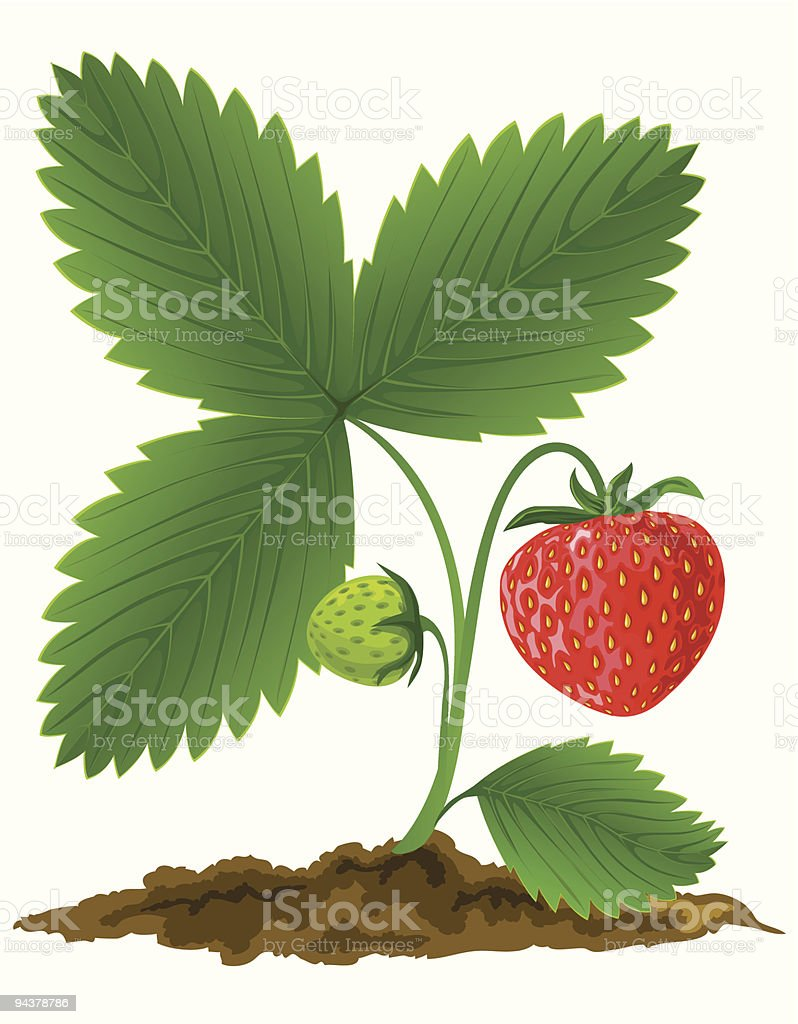 red strawberry fruit with green leafs vector illustration royalty-free stock vector art