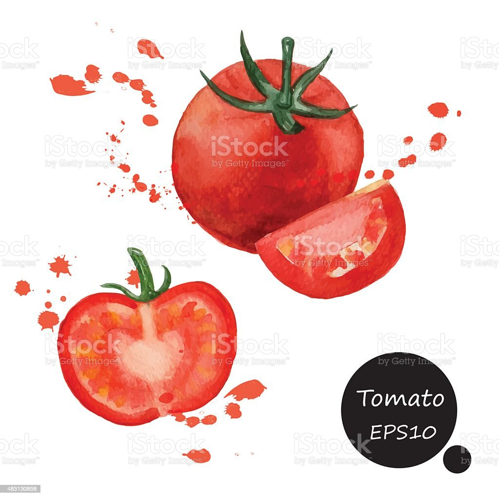 red Tomato  hand draw watercolor painting on white background ve vector art illustration