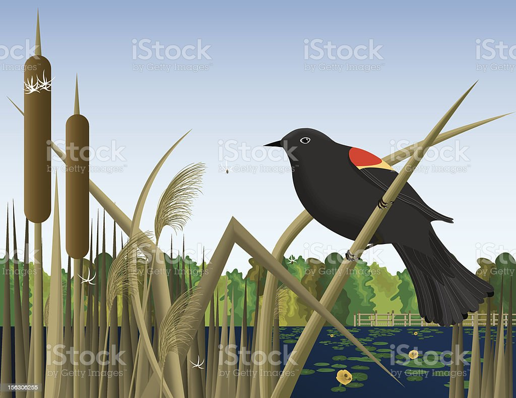 Red Wing Black Bird Perched on Reed in Wetland Marsh royalty-free stock vector art