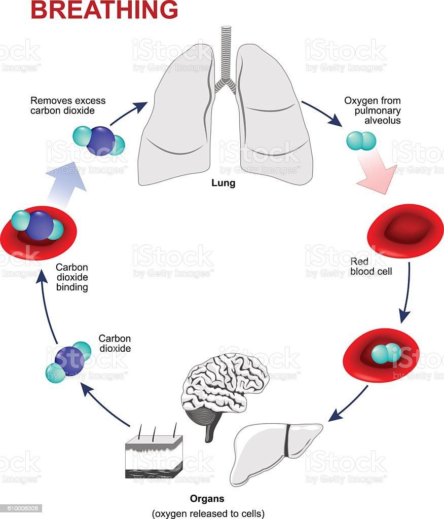 Respiration or Breathing vector art illustration