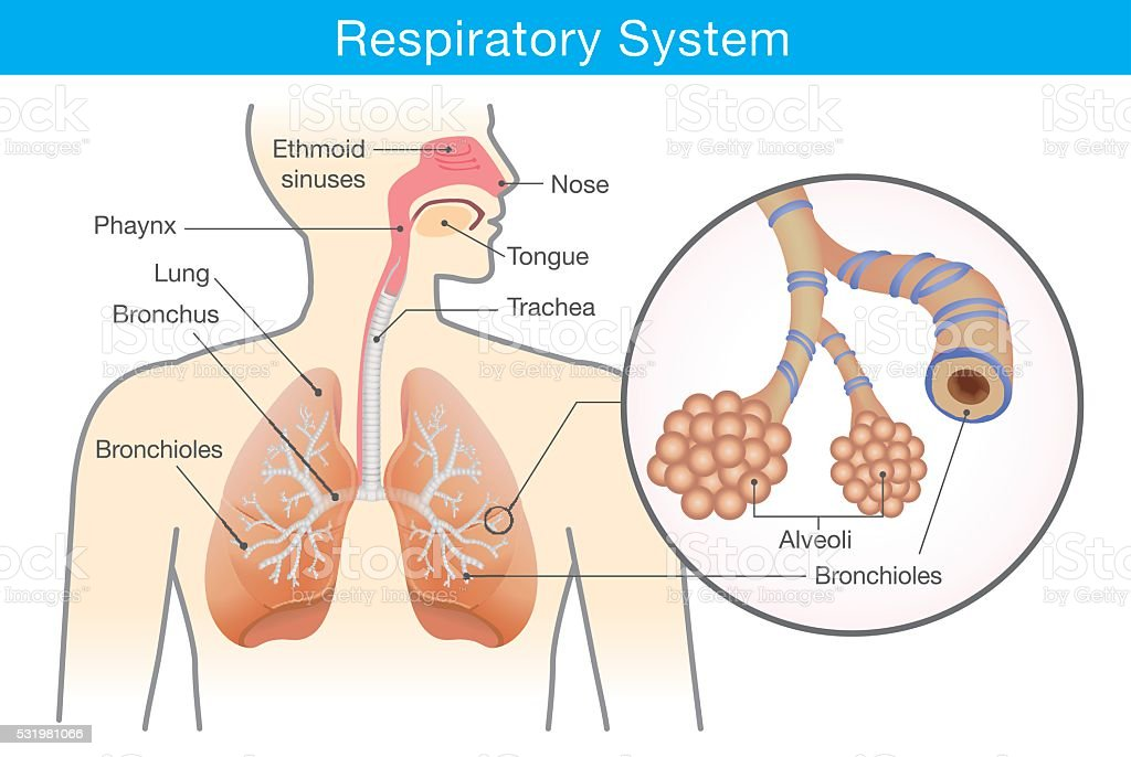 Respiratory system of human vector art illustration
