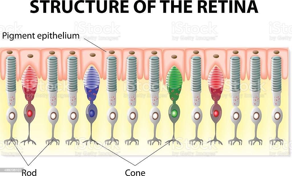 Retina structure vector art illustration