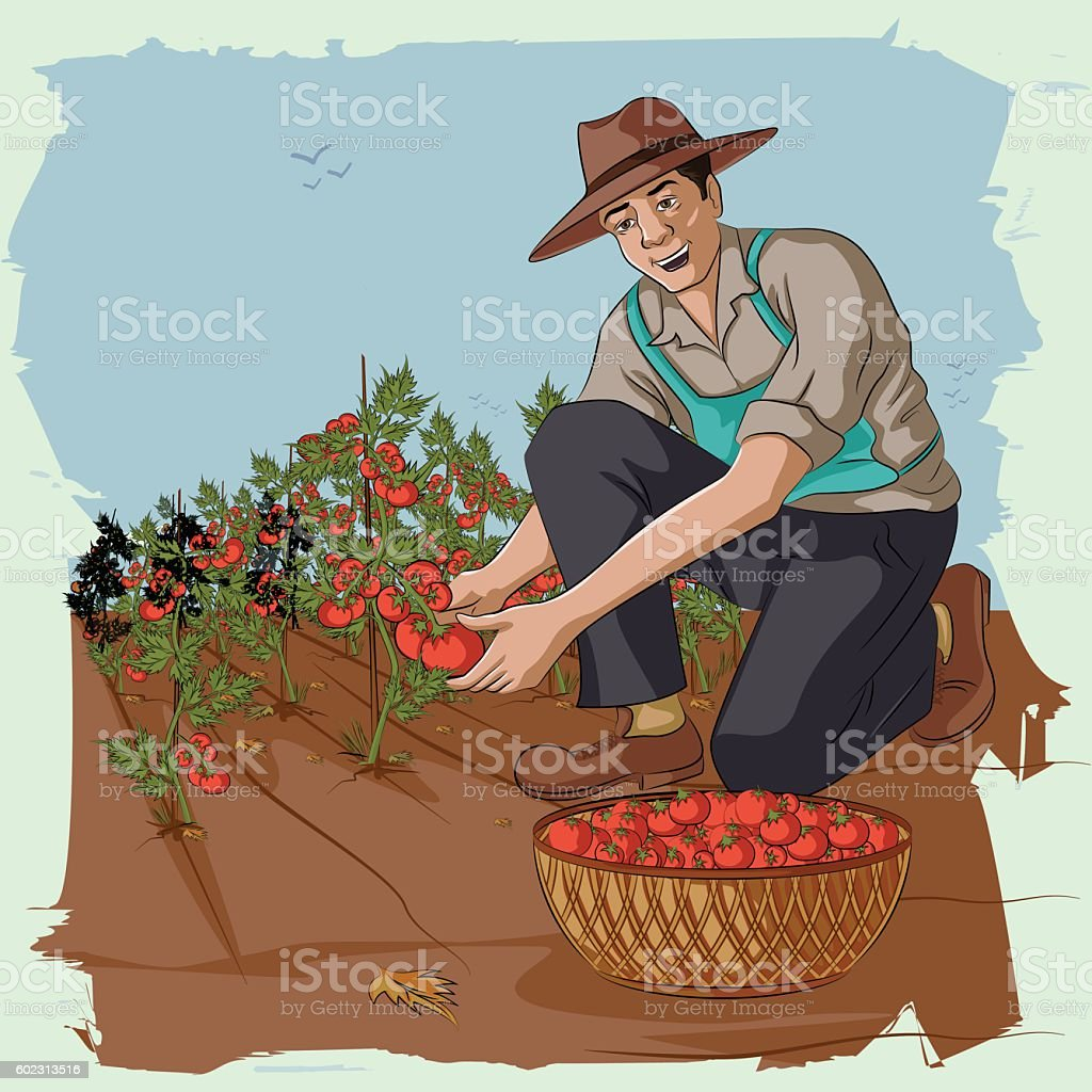Retro man plucking tomato from farm vector art illustration