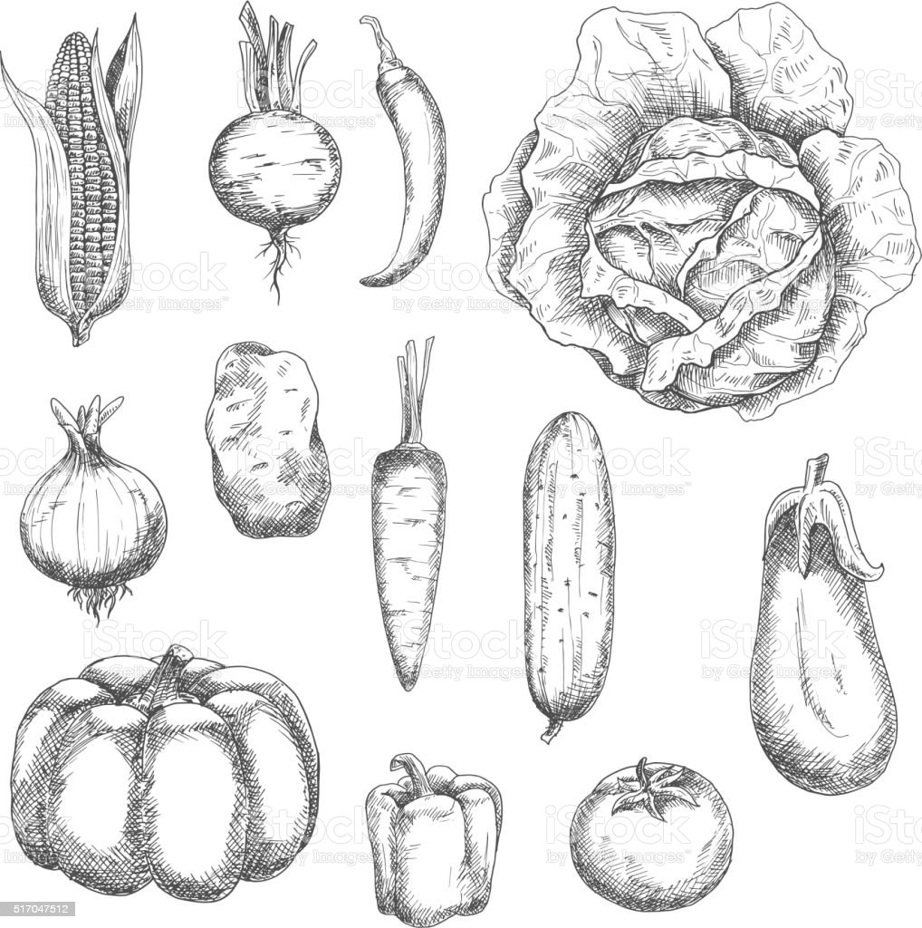 Retro sketches of garden vegetables vector art illustration