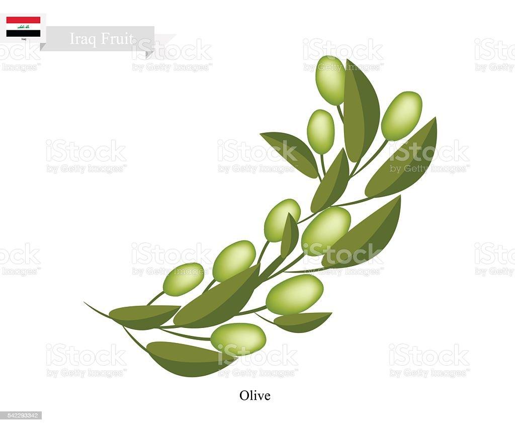 Ripe Olive, A Popular Fruit in Iraq vector art illustration