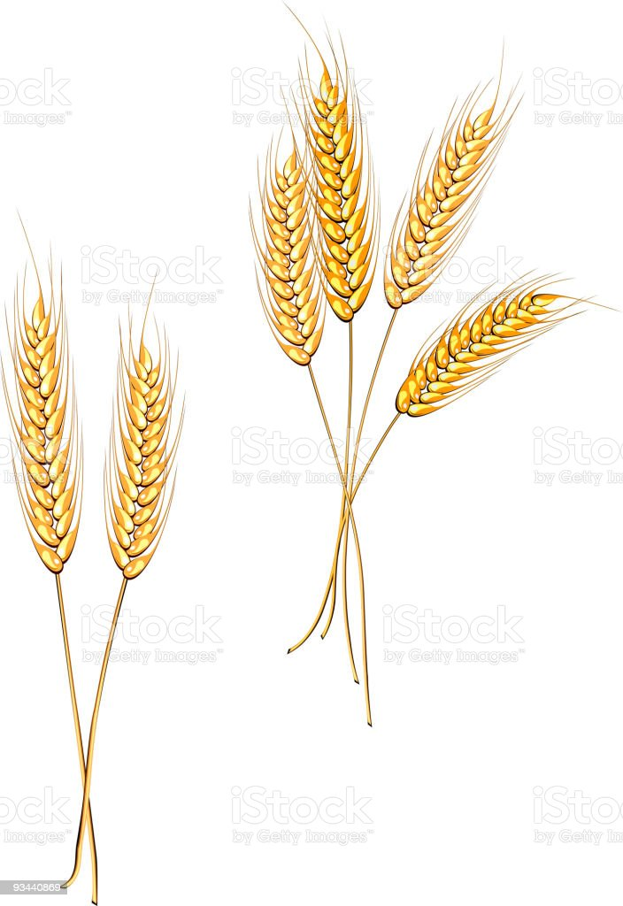 Ripe wheat on a white background  vector art illustration