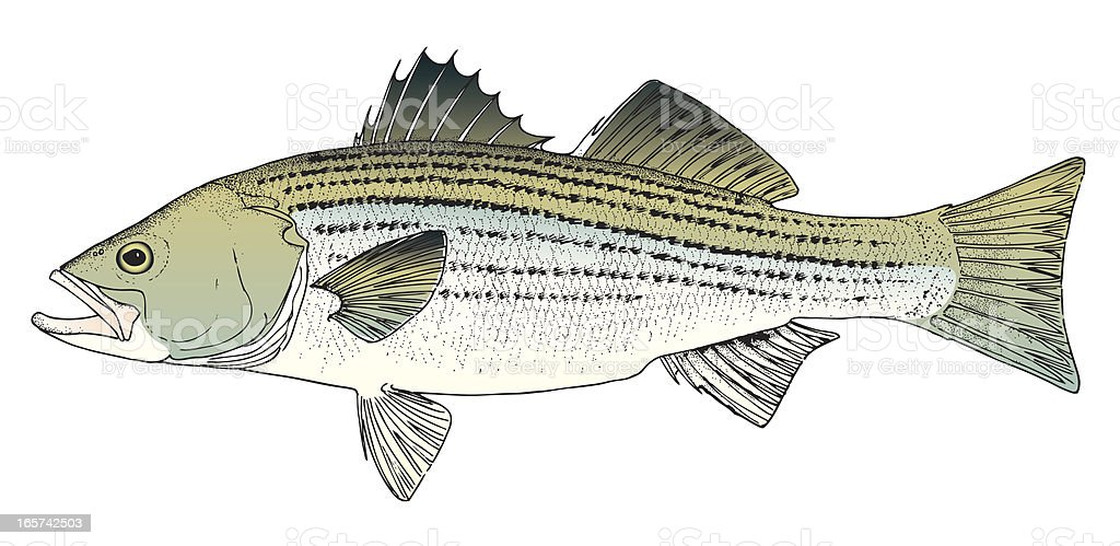 Rockfish / Stripped Bass royalty-free stock vector art