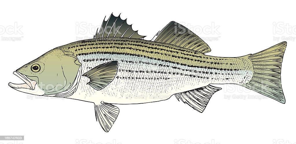 Rockfish / Stripped Bass royalty-free stock vector art