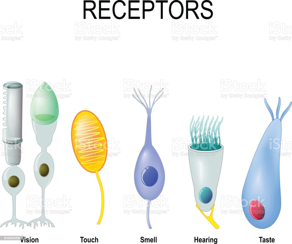 rod and cone cells, Meissner's corpuscle, Olfactory receptor, hair cell and gustatory cell vector art illustration