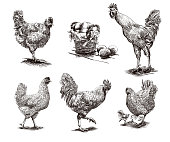 roosters, hens and chickens