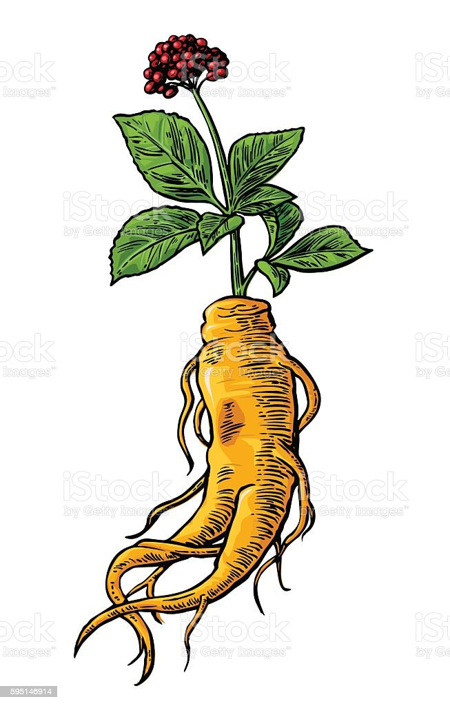 Root and leaves panax ginseng. vector art illustration