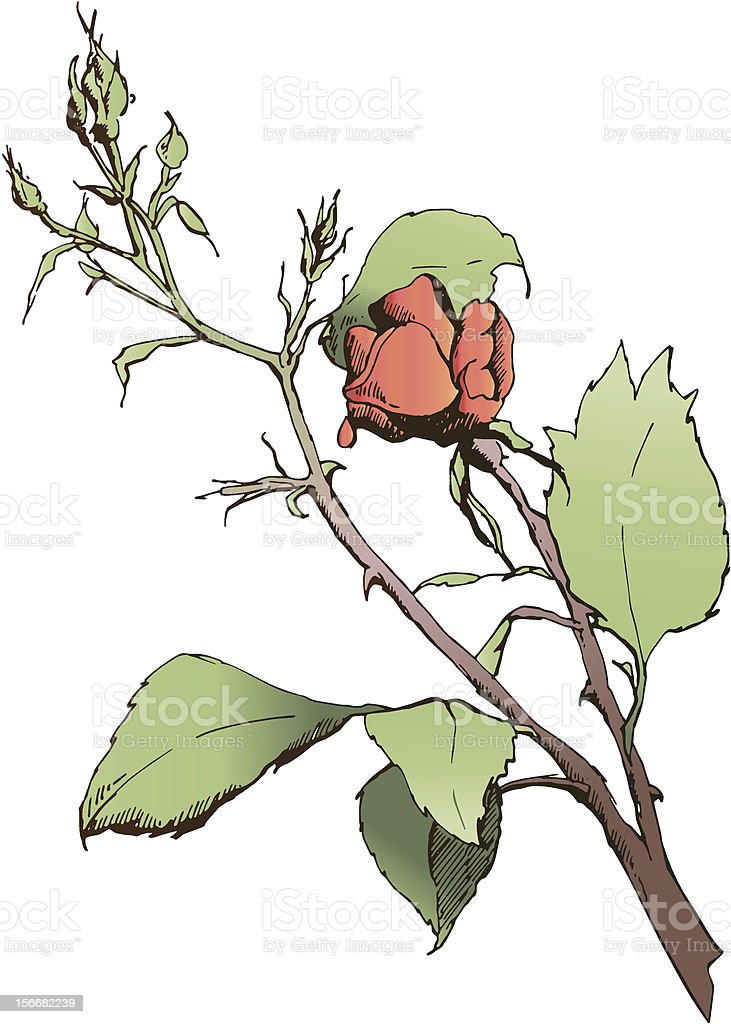 Rose buds royalty-free stock vector art