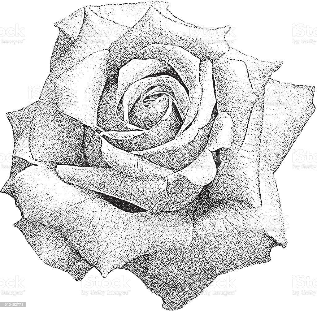 Rose Isolated On White vector art illustration