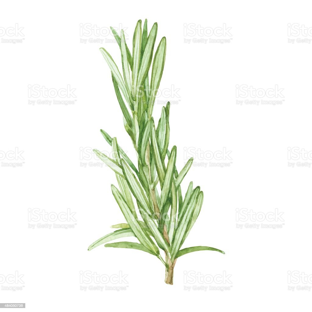 Rosemary  isolated on white background. Vector, watercolor hand drawn  illustration. vector art illustration