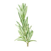 Rosemary  isolated on white background. Vector, watercolor hand drawn  illustration.