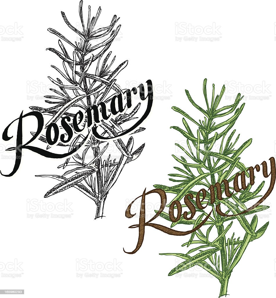 Rosemary Plant - Herb with Text royalty-free stock vector art